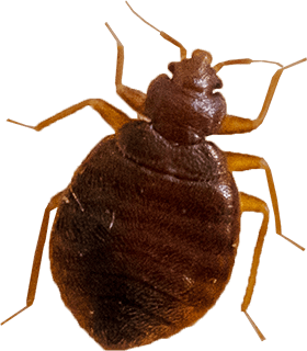 Avoiding DIY Methods for Bed Bug Infestations