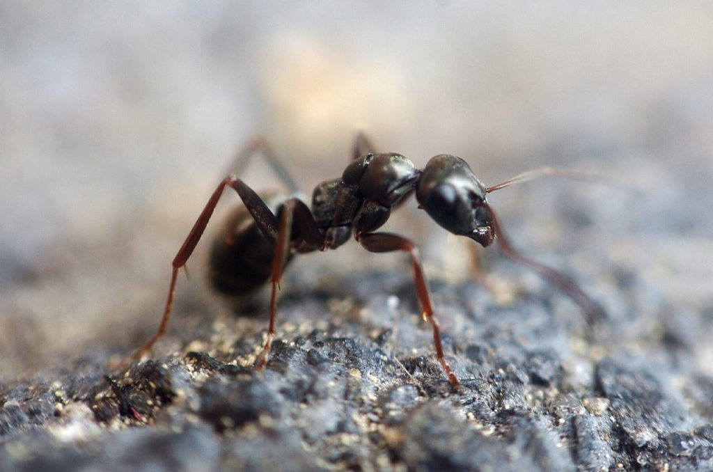 The Danger of Black Carpenter Ants in the Home