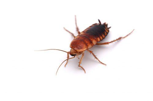 Cockroach-Pest-Control-Hamilton.jpg