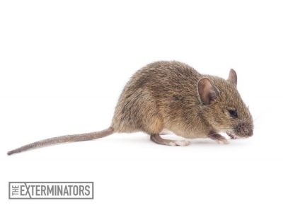 rodent-extermination-hamilton.jpg